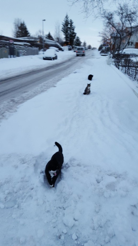Athena the cat leads two of her friends in our daily walk. I call it triple cat-action.