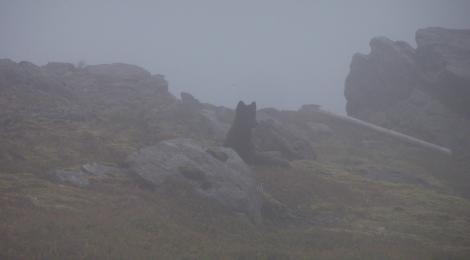 Fox in the fog