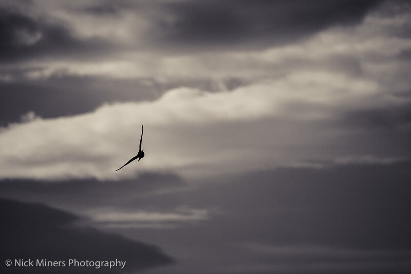 Silhouette of an Artic Tern