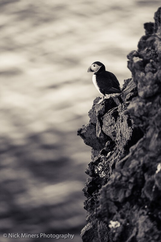 An atlantic puffin (Fratercula arctica) on the cliffs at Latrabjarg, Westfjords, Iceland