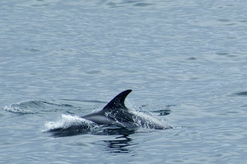 White Beaked Dolphin rises up to the surface