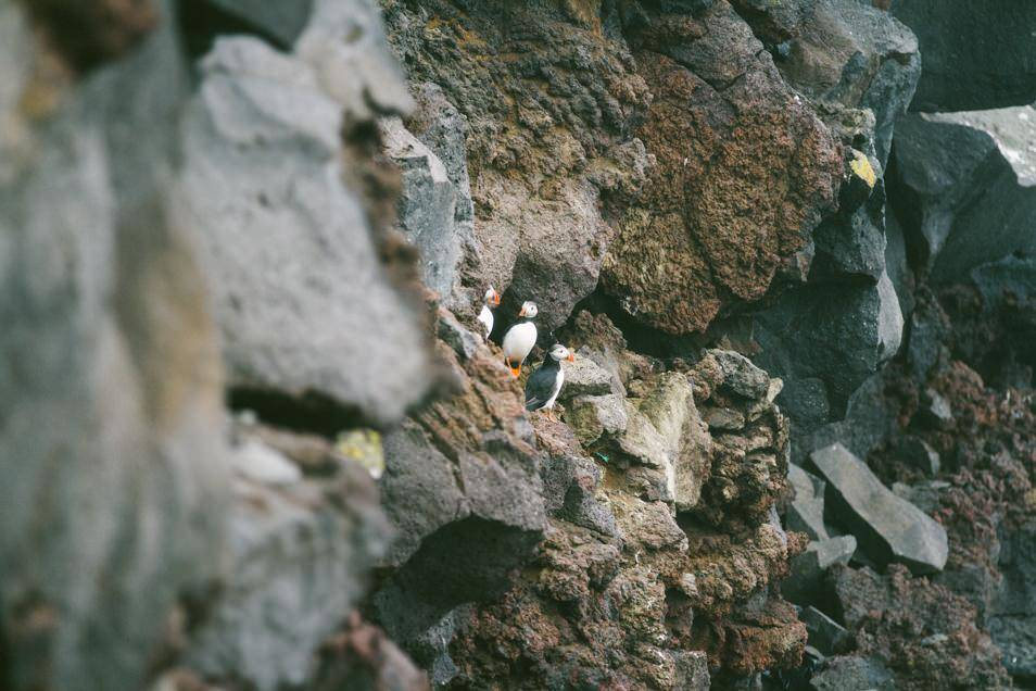 The Proud Puffins of Vestmann Islands.