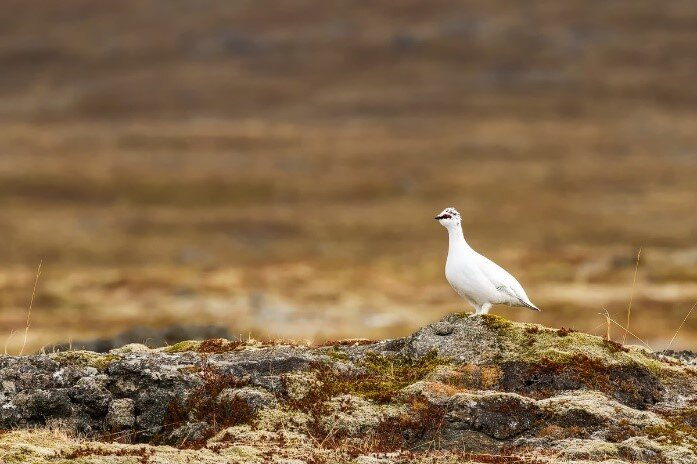Ptarmigan being cool in spite of the approaching fox.