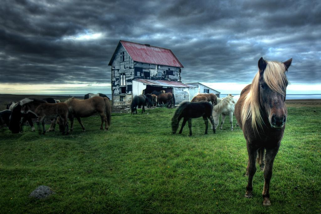 Horses at abandoned farm in Skagafjordur. Few months after this picture was takenthehouse blew away in a storm.