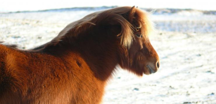 An Icelandic horse in winter.