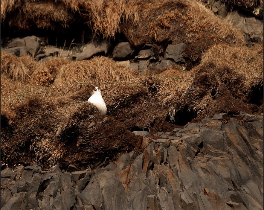 This is an Icelandic bird. True story.