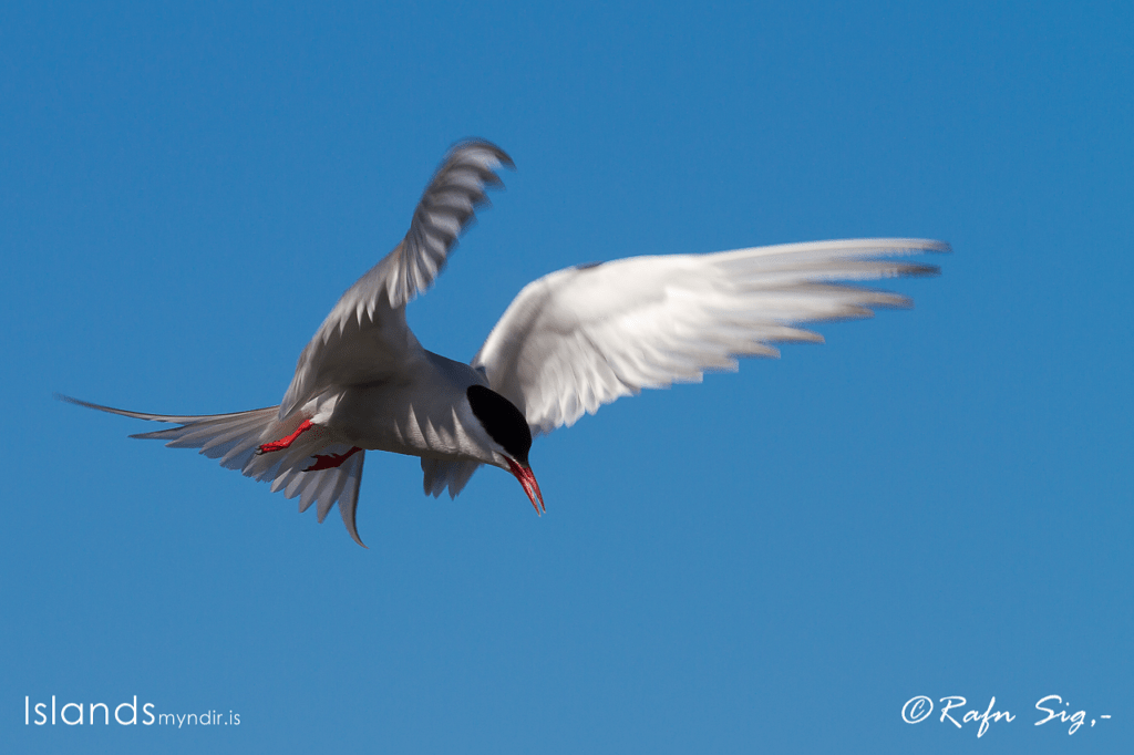 Artic Tern on the offensive.