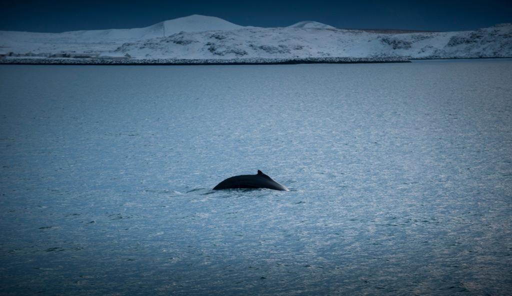 Minke whale puts on a show.