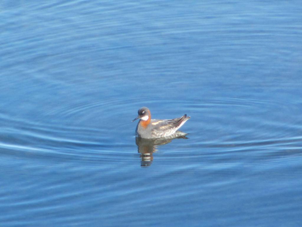 Red-necked phalarope - Phalaropus Lobatus