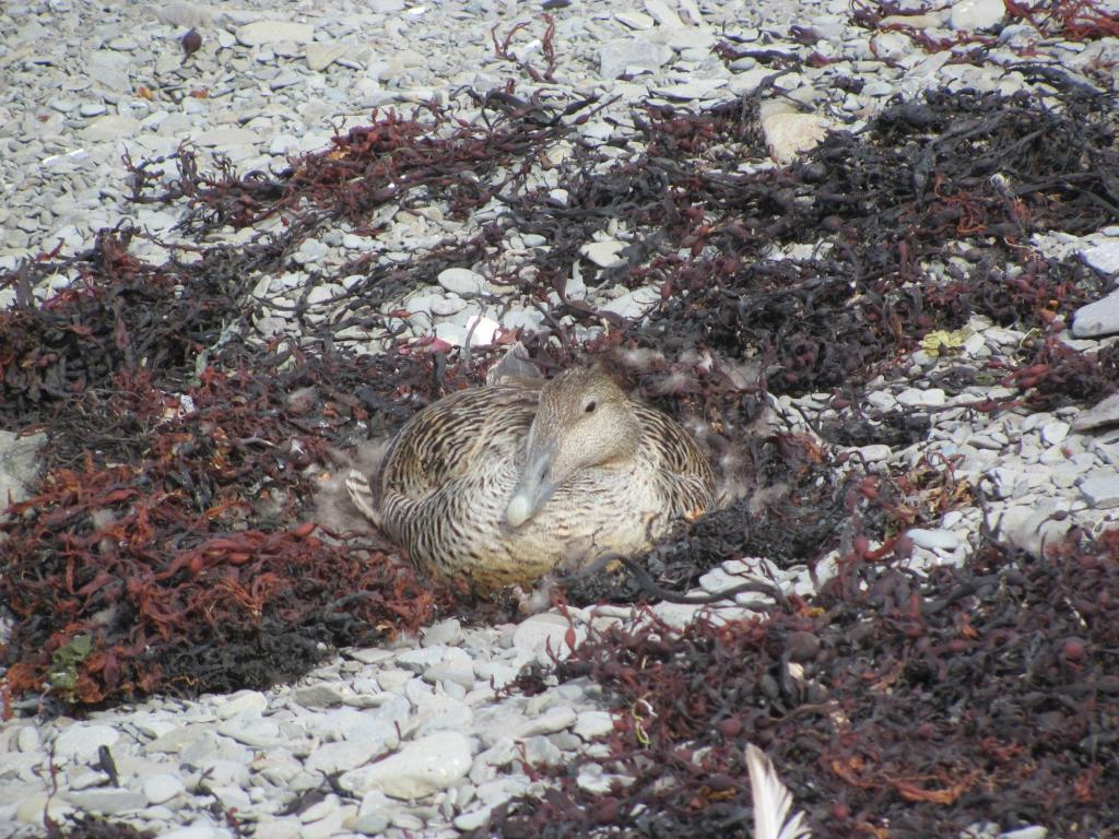 Female common eider nesting.