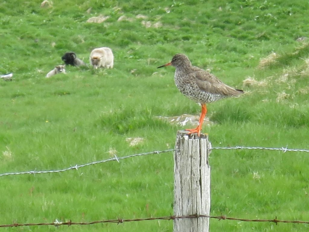 Red shank is on the fence for this one.