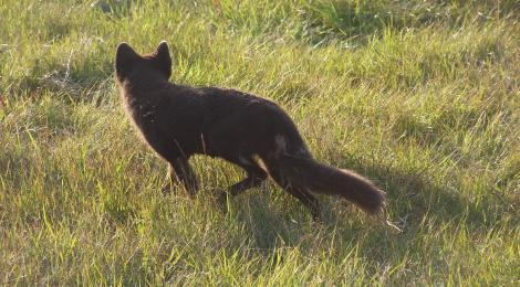 Clever and brave vixen gives her cubs a head start by getting food from gluttonous humans.