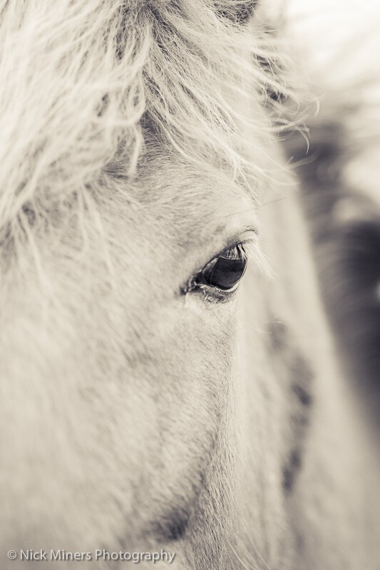 Close up of an Icelandic horse.