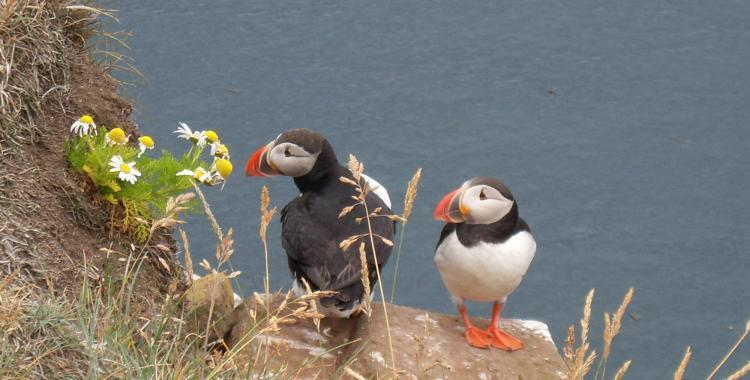 Those puffins probably wouldn´t care if the photographer would venture too far on the edge and plummet to his death on the rocks 300 meters below. But here they are nevertheless.