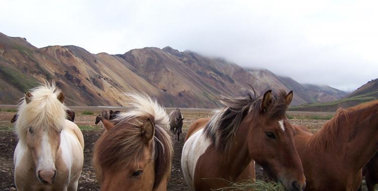 Icelandic horses at Landmannalaugar, Iceland