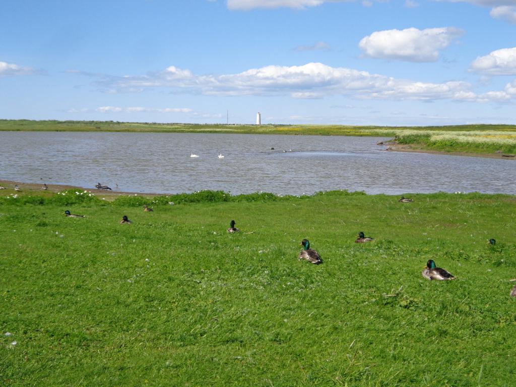 Bakkatjörn pond is a haven for a fantastic variety of birds.