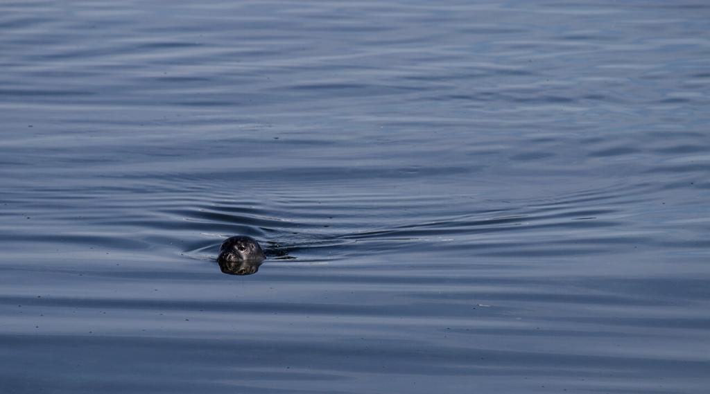 Seal taking a swim.