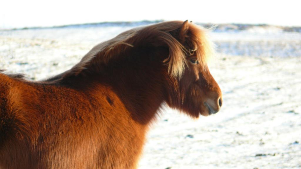 An Icelandic horse in winter.