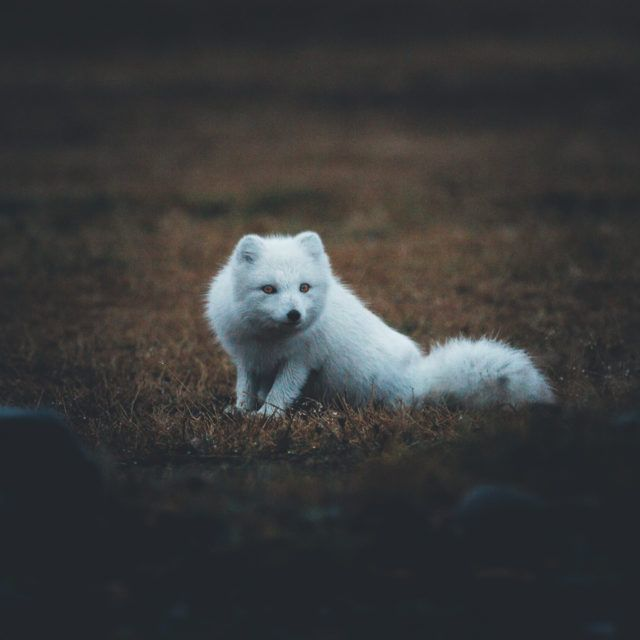 The Icelandic arctic fox.